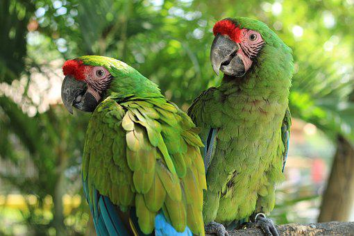 Parrot, Macaw, Green, Ave, Bird