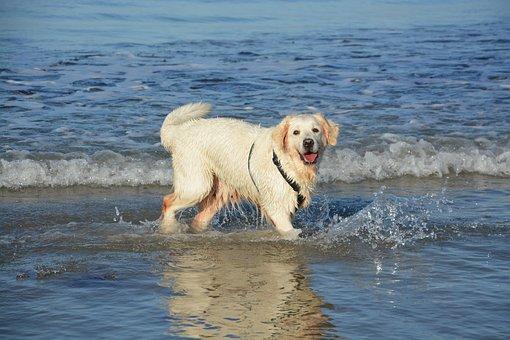 Dog Golden Retriever, Bathing, Sea