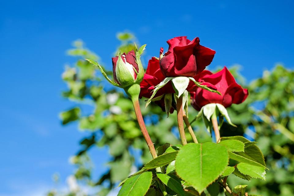 rose flower blooms · free photo on pixabay