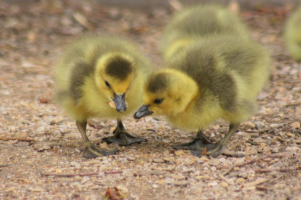 Duckling Images · Pixabay · Download Free Pictures