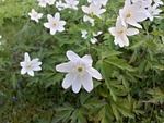 wood anemone, white