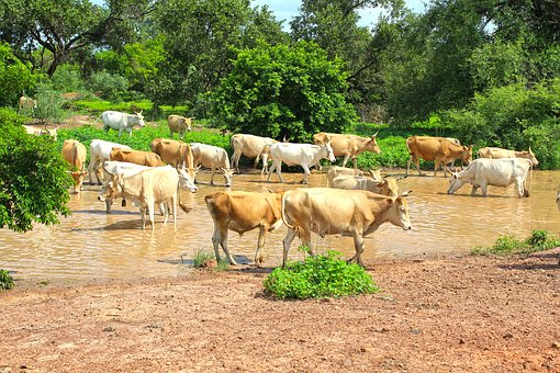 Cows, Stream, Cattle, Nature, Landscape