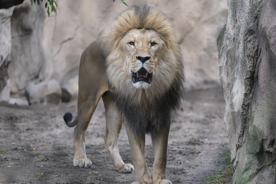 300+ Free Roar & Lion Images - Pixabay