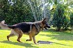 dog, german shepherd, animal