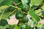 figs, fruits, tree