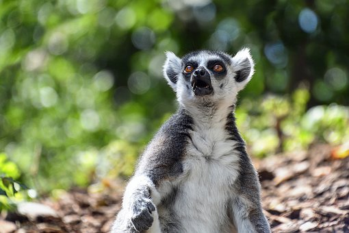 Lemur, Maki Catta, Look, Surprised, Eyes