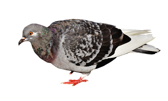 City Pigeon, Foraging, Dove, Bird