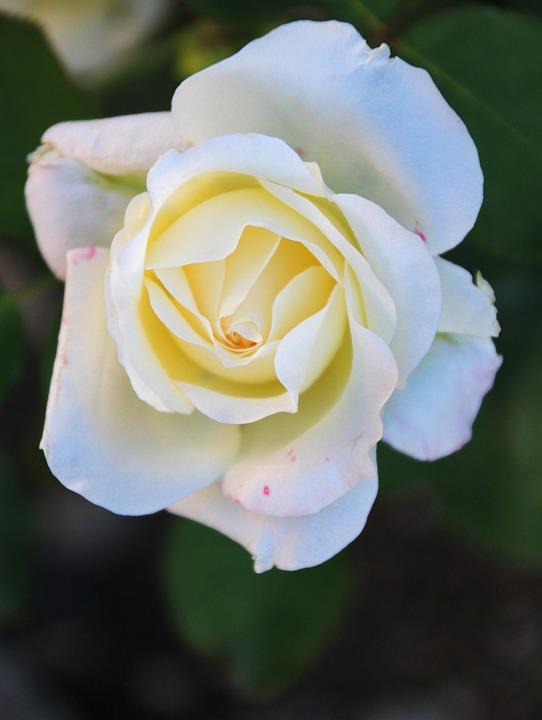 roza byalo tsvyat beli bezplatni fotografii na pixabay
