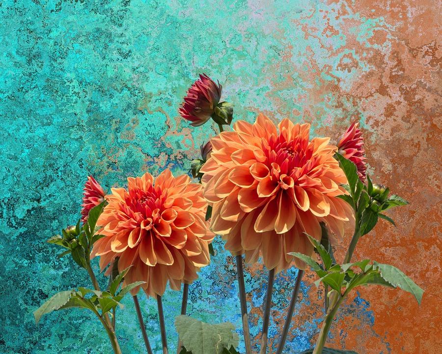 Dahlias Autumn Dahlia Dahlia Garden Blossom Bloom