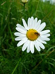 rumianek, żuk, kwiat