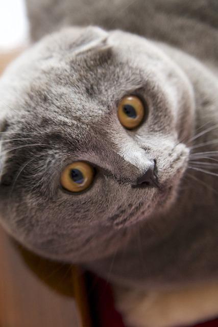 Cat Grey Face Short Free Photo On Pixabay