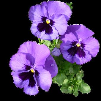 Orvokki, Purple, Kukoistava