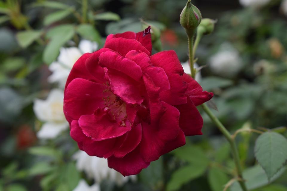 Download 107+ Gambar Bunga Mawar Yang Jelas Gratis Terbaik