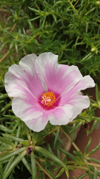 Blume Weiß Rosa · Kostenloses Foto auf Pixabay