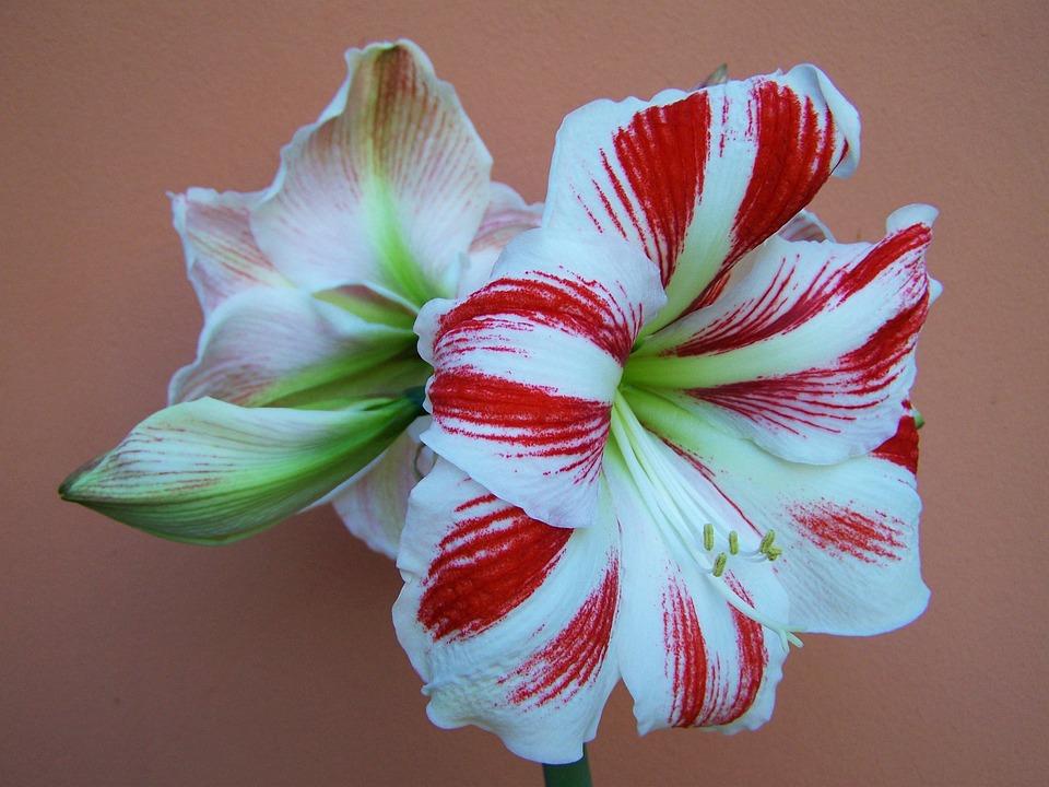 Amaryllis red and white flowers free photo on pixabay amaryllis red and white flowers onion flower mightylinksfo