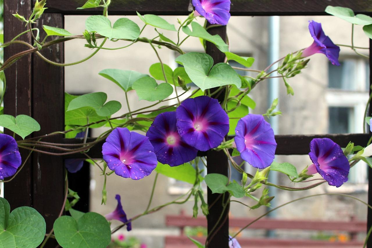 Вьюнки цветы фото