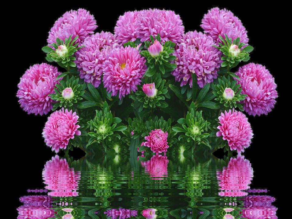 Astern Herbst Blumen Lila Kostenloses Foto Auf Pixabay