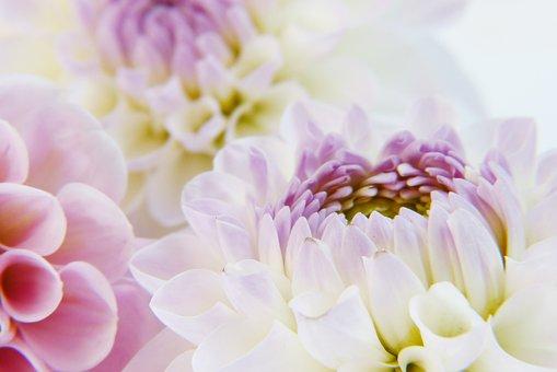 Dahlia, Blossom, Bloom, Dahlia Garden