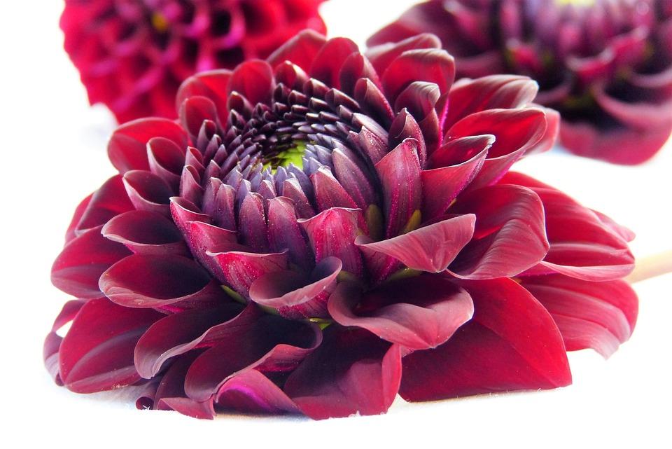 photo gratuite: dahlia, fleur, rouge, vin rouge - image gratuite