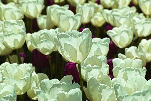 White, Tulipani, Fiore, Ambientale