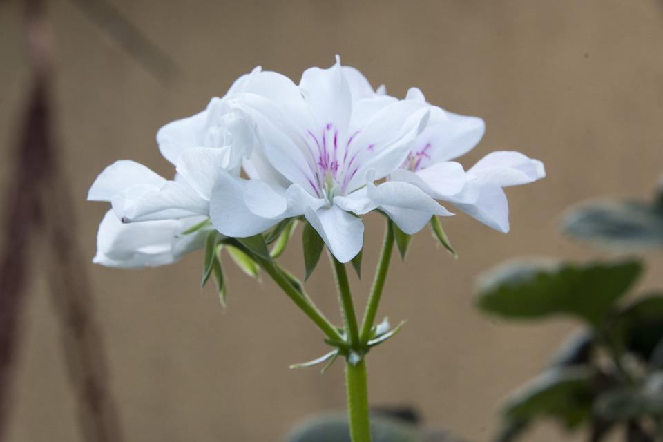 White Blume Weiße · Kostenloses Foto auf Pixabay