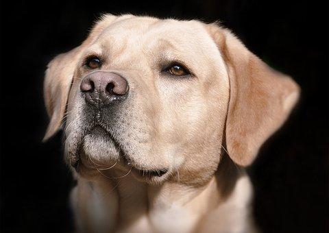 Labrador, Diriger, Brillant, Chien