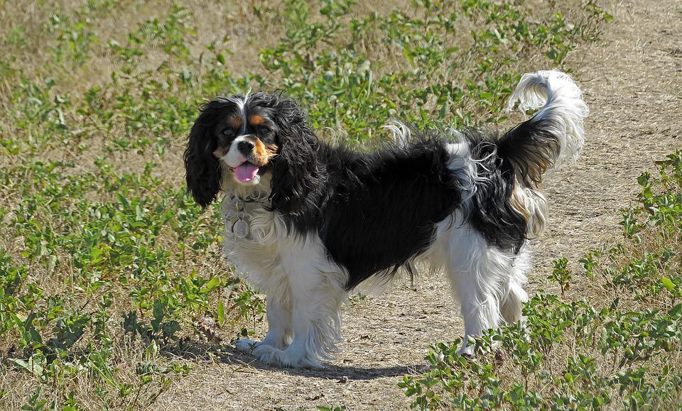 Top Cavalier Canine Adorable Dog - dog-2667397_960_720  Graphic_642917  .jpg