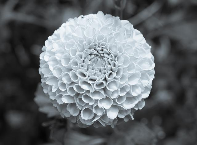 Marigold Flower Black And White B 183 Free Photo On Pixabay