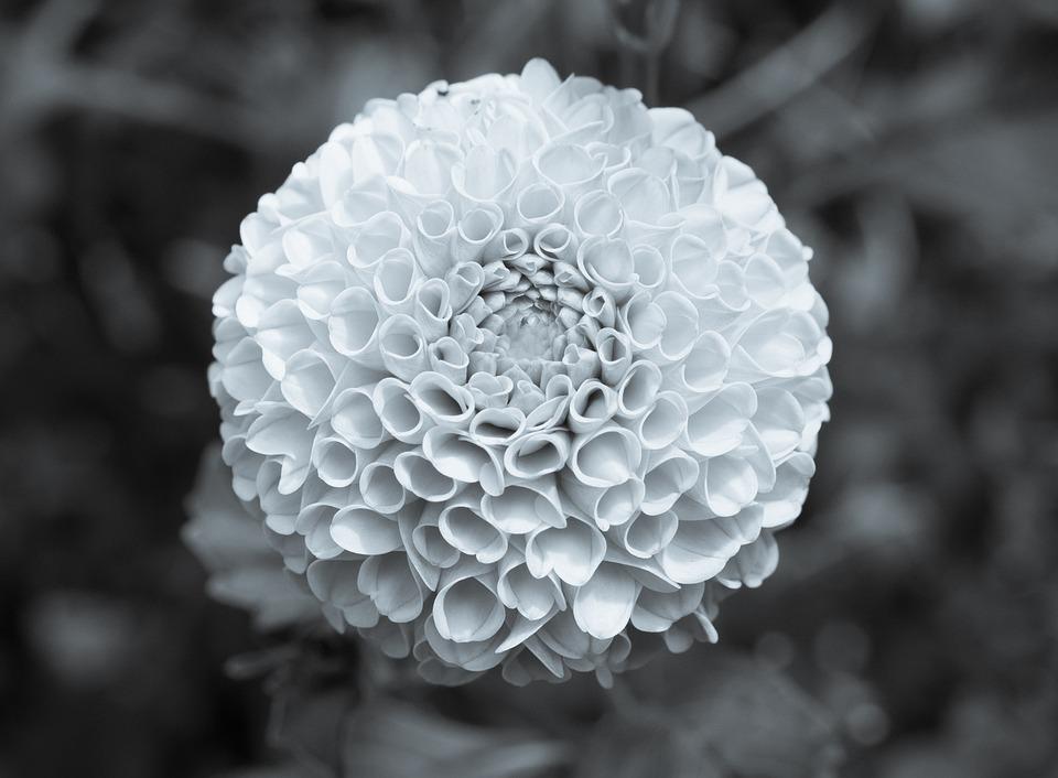 Marigold Flower Black And White B · Free photo on Pixabay Sunflower Vector Black And White