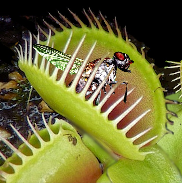 free photo venus flytrap trapped fly catch free image on pixabay 2667991. Black Bedroom Furniture Sets. Home Design Ideas