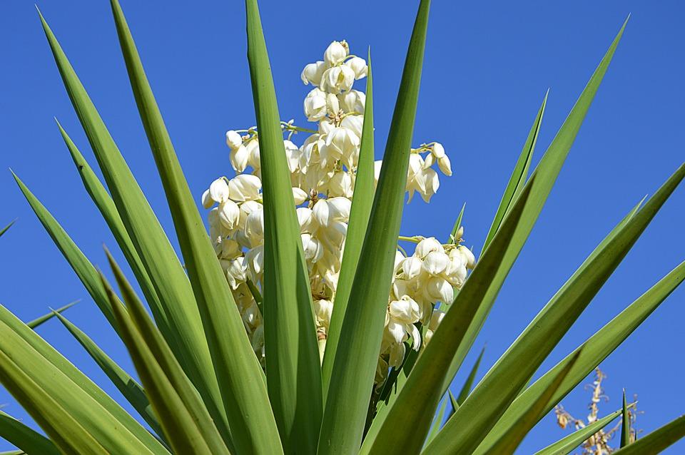 Yucca Blüte Der Weiße Blumen · Kostenloses Foto auf Pixabay