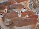 impala, flock, center