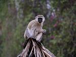 monkey, kenya