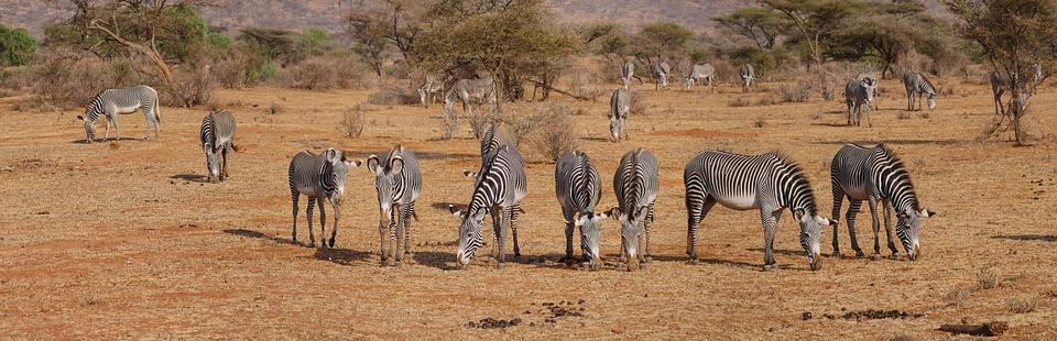 Zebra, Grevyzebra, Herde, Freiheit, Savanne, Fressen