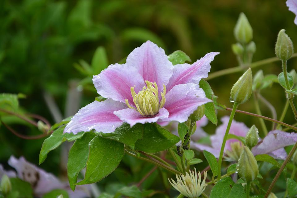 Flower clematis pink free photo on pixabay flower clematis pink white flowers creeper garden mightylinksfo
