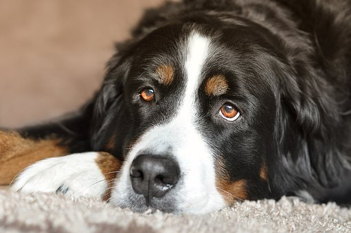 Dog, Bitch, Bernese Mountain Dog, Eyes