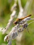 ważka, owad, insekt