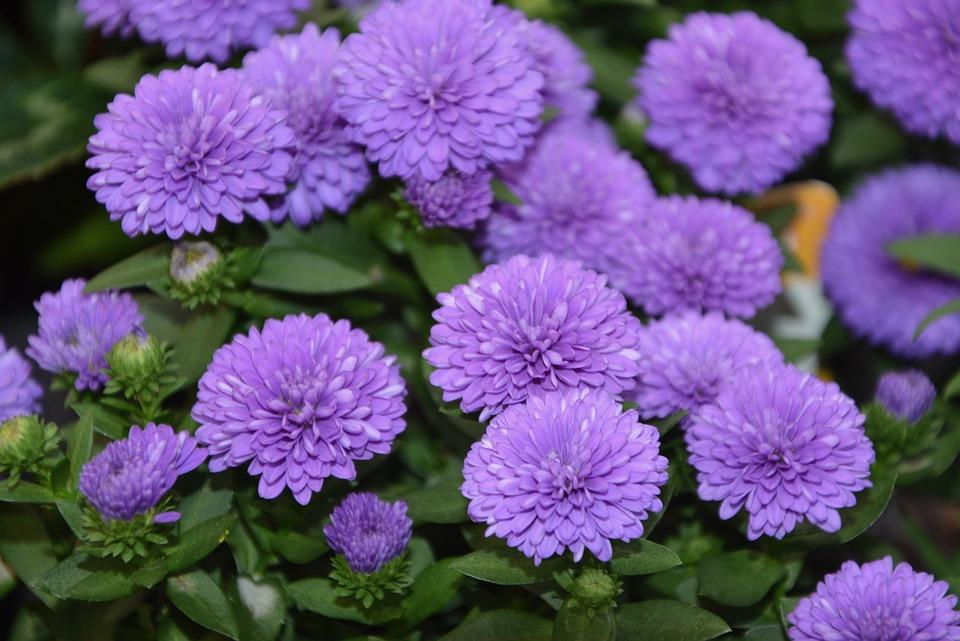 Fiori Color Viola.Fiori Di Colore Viola Massiccio Foto Gratis Su Pixabay