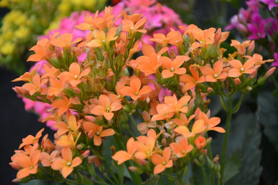 Flowers Orange, Kalanchoe, Flowers Were, Garden, Massif