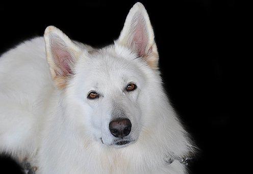 schafer-dog-2669660__340.jpg