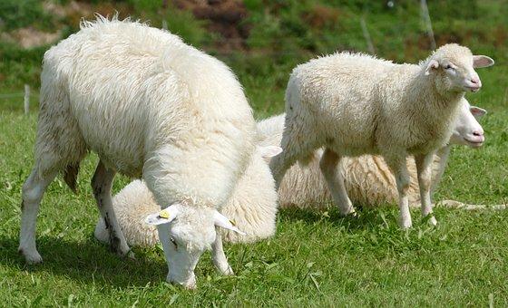 Sheep, Sheepskin, Idyll, Allgäu, Woolly