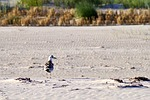plaża, piasek, mewa