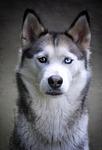 husky, dog, siberian husky