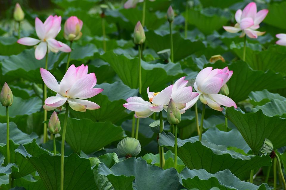 Fleurs Lotus Etang Fleur De Photo Gratuite Sur Pixabay