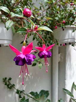 Hanging flowers images pixabay download free pictures hanging clock flower purple flower mightylinksfo