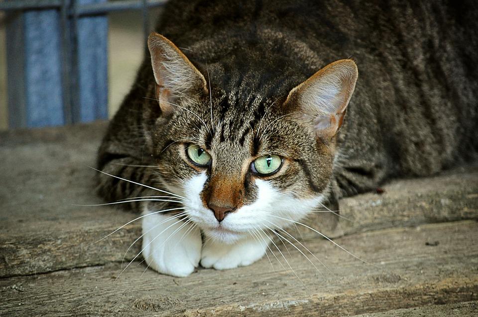 Olhos De Gato De, Abrigo Animal, Mieze, Gato Doméstico