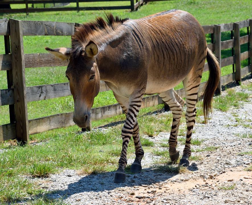 Zebroide, mezcla entre dos equinos, paseando por un prado.