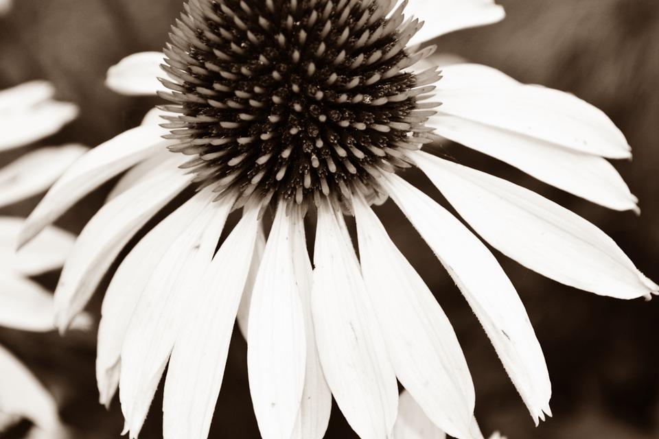 preto branco flor e foto gratuita no pixabay