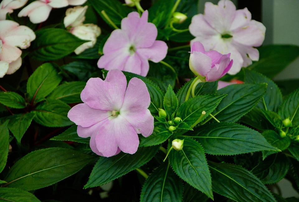 Flores, Impatiens, Hojas Verdes, Naturaleza, Jardín Impatiens Wallerana, alegria de la casa
