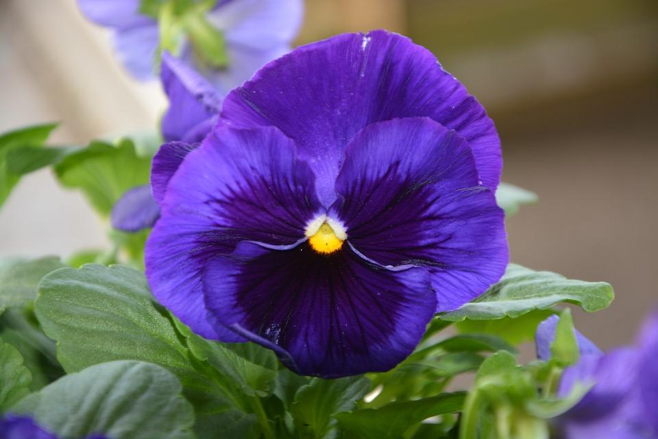 Célèbre Fleurs, De, Pensée - Images gratuites sur Pixabay XB43